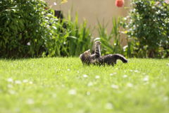 Garden kitten playing Royalty Free Stock Photos