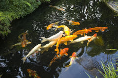 Garden Koi pond. Garden pond with Koi fish Stock Images