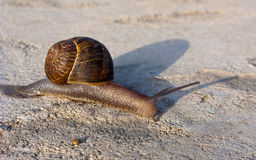 Garden Land Snail Stock Images
