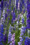 Garden of larkspur flowers royalty free stock image