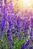 Garden lavender flowers Stock Image