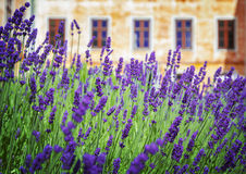 Garden lavender Royalty Free Stock Photography