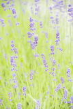Garden with lavender (lavandula) growing Royalty Free Stock Image