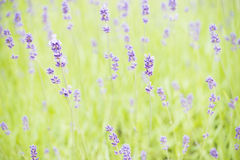 Garden with lavender (lavandula) growing Stock Photo