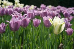 Garden of Lavender tulips with one White and Green tulip stock images