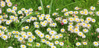 Garden lawn, blotched with daisy flowers Royalty Free Stock Image