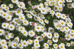 Garden lawn with daisies. Garden lawn, blotched with daisies Stock Images