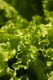 Garden lettuce Stock Photo