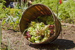 Garden Lettuce Stock Images