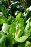 Vegetable garden: lettuce plants and chard Royalty Free Stock Images