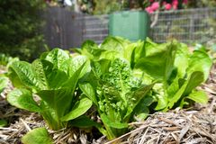 Vegetable garden: lettuce plants and compost bin. Lettuce plants growing in raised bed garden with compost bin in background Stock Photos