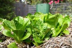 Vegetable garden: lettuce plants and compost bin Stock Photos