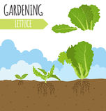 Garden. Lettuce salad. Plant growth Stock Image
