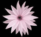Garden light pink flower, black isolated background with clipping path.  Closeup.  no shadows. view of the stars,  for the design. Royalty Free Stock Photos