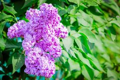 The garden lilac bush blooms in the spring. Close-up, selective focus royalty free stock photography