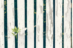 Garden Lily Over White Wooden Fence Background. Close up of a beautiful unique flower breaking free trough a fence Stock Photos