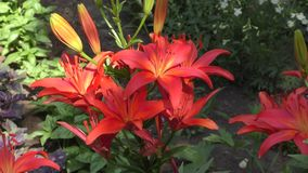 Garden lily red stock video footage