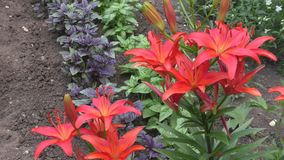 Garden lily red stock video
