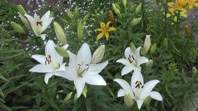 Garden lily white stock video