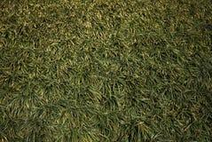Liriope Muscari Plants Stock Image Image Of Nature 113827749