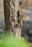 Garden lizard Stock Photo
