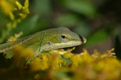 Garden Lizard Royalty Free Stock Image