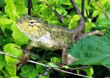 Garden lizard Royalty Free Stock Photos