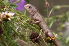 Garden lizard Stock Image