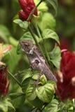 Garden lizard Royalty Free Stock Image