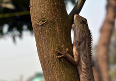 Garden Lizard. The Calotes Indian Garden Lizard is a commonly found reptile in India. Photo was taken on 16th Feb 2016 Royalty Free Stock Photography