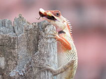 Garden Lizard with Catch of Bug Stock Photography