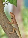 Garden lizard Stock Photography