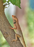 Garden lizard. The common garden lizard on tree trunk Stock Photography