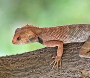 Garden lizard. Common garden lizard on tree trunk Stock Image
