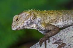 Garden lizard Royalty Free Stock Images