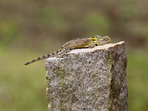 Garden lizard on granite fence post Royalty Free Stock Images