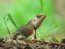 Garden Lizard between grass looking at camera Royalty Free Stock Image