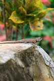 A garden lizard on a green background Royalty Free Stock Photography
