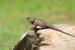 A garden lizard on a green background Royalty Free Stock Photo