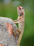Garden Lizard in interesting pose with open mouth Stock Images