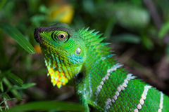 Garden lizard Royalty Free Stock Images