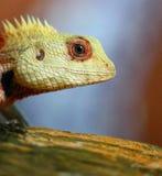 Garden Lizard Stock Photos