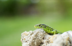 Garden Lizard peering over rocks Royalty Free Stock Photos