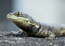 Garden lizard with textured skin Royalty Free Stock Images