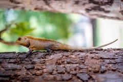 A garden lizard on a tree branch Stock Photos
