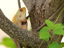 Garden lizard on a tree, in the wild Royalty Free Stock Image