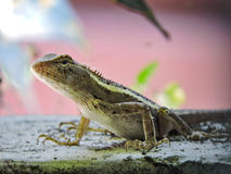 Garden lizard. A view of garden lizard that is waiting for a prey to come Stock Photo