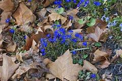Garden lobelia (Lobelia erinus). Called Edging Lobelia and Trailing Lobelia also Stock Image