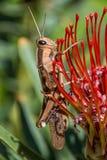 Garden Locust Acanthacris ruficornis Stock Image