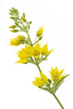 Garden Loosestrife Stock Images